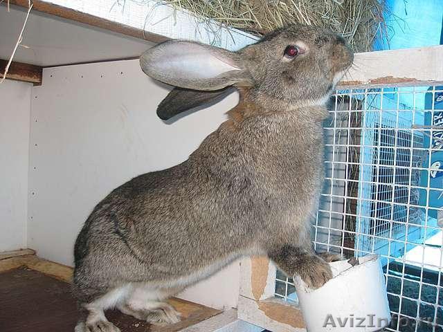 кролики породы фландр кормление принципе здесь подойдет