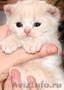 Шотландский котенок-страйт
