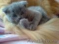 Котята от хайленд фолда
