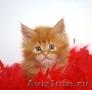 Продаются котята породы мейн - кун