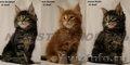 великолепные котята мейн кун